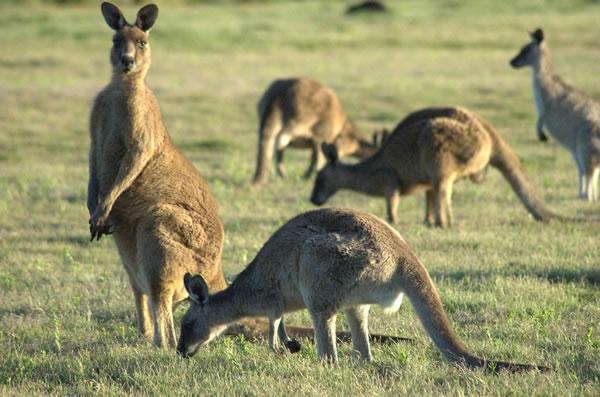 オーストラリアの動物―カンガルー