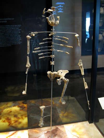 アウストラロピテクスの化石