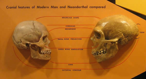 ネアンデルタール人と現代人の頭蓋骨の比較